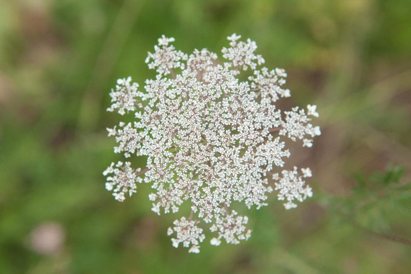 Queen Anne's Lace Herb