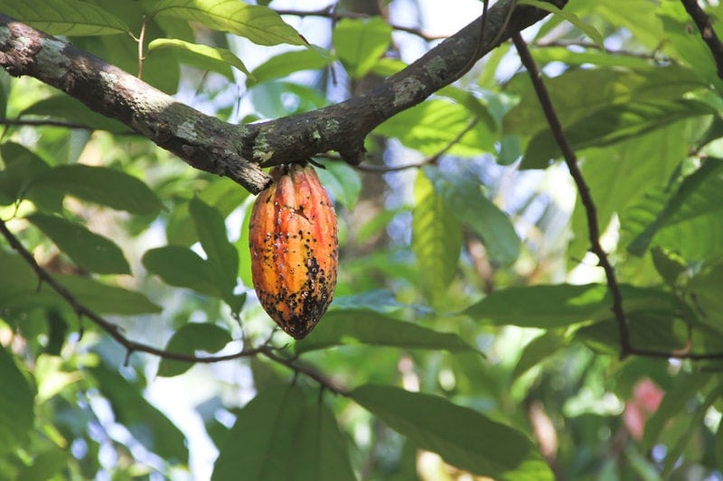 Benefits of Cacao: cacao pod hanging on a tree
