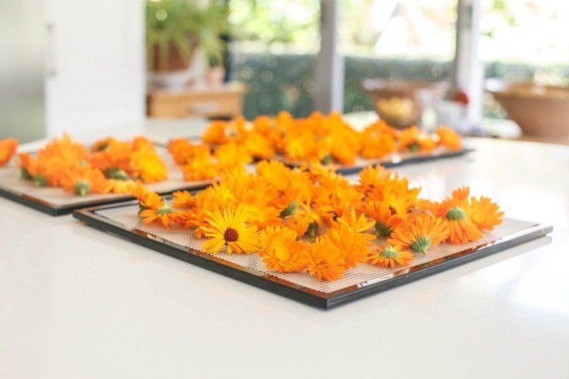 Freshly picked calendula flowers spread out over mesh trays ready to dry