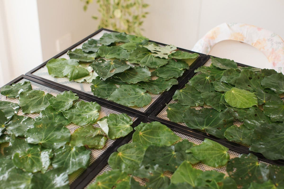 Fresh kawakawa leaves spread over mesh trays bound for the dehydrator.