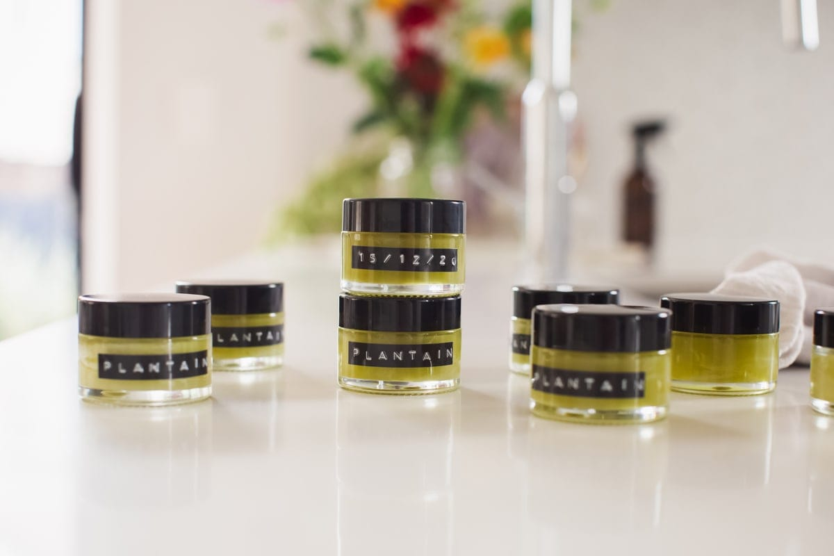 Multiple small glass jars of freshly made plantain salve on the kitchen bench, capped and labelled ready to use.