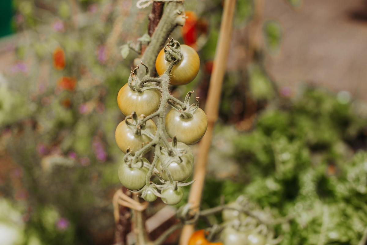A bunch of cherry tomatoes growing on a vine in the garden